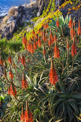 Aloe Vera plants on the island of Madeira