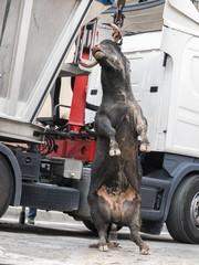 Toro muerto en una grua, después de una corrida de toros
