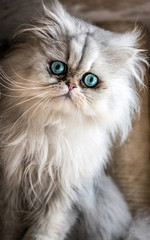 Beautiful Persian cat