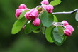 Cluster of pink crabapple flowers