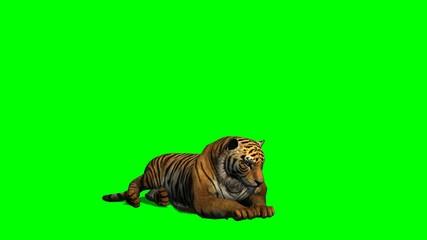 Tiger lies - green screen