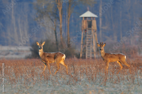 Poster Hert Deer in winter morning and hunting tower in background