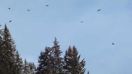 Snow-covered fir trees and birds circling in front of blue sky