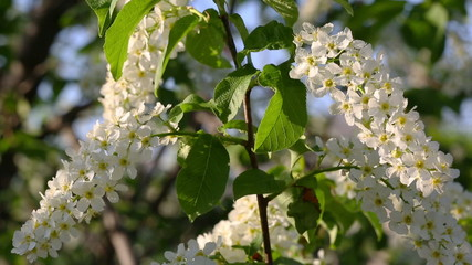 blossom bird cherry tree flowers