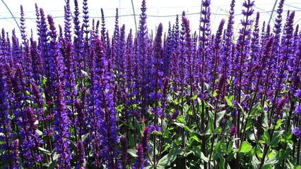 Salvia Perennial Plant Field