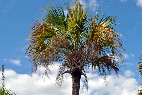 Deurstickers Palm boom Washingtonia robusta