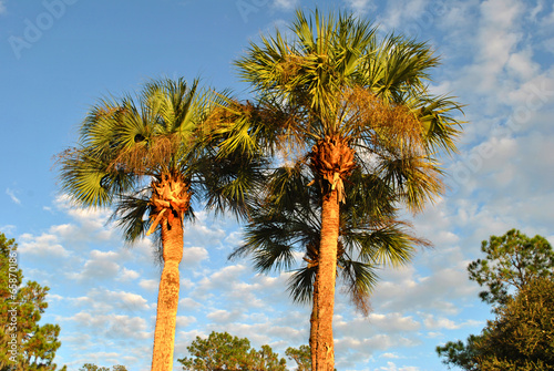 Fotobehang Palm boom Washingtonia robusta