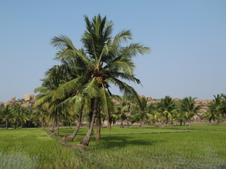 Palms and rice fields in Hampi, India
