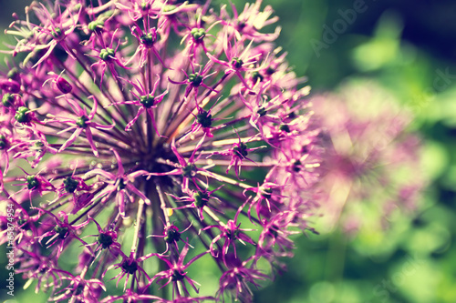 Blooming onion in a garden close up
