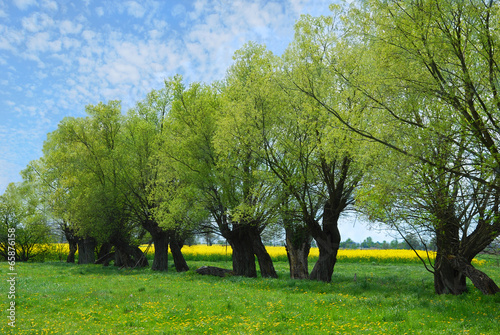 beautiful polish landscape with willow trees