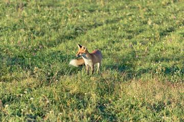 Fox in the meadow - European fox (Serbia)