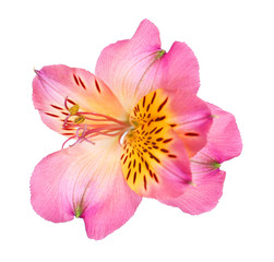 Beautiful alstroemeria flower isolated on white