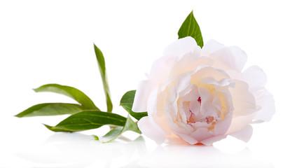 Beautiful white peony flower, isolated on white