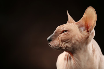 Sphynx hairless cat on dark background