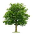 Freigestellter Walnussbaum im Frühling
