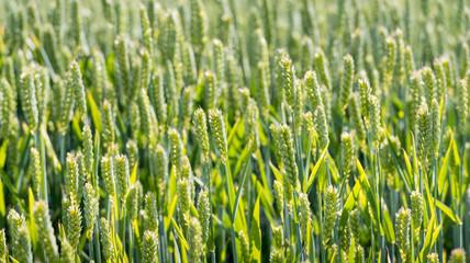 Waving corn ears from close