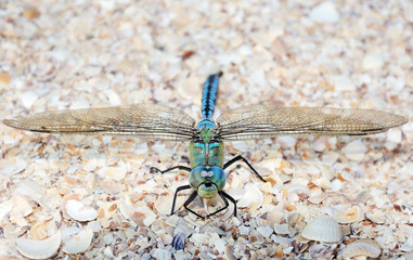 Blue dragonfly sitting on the sea shells