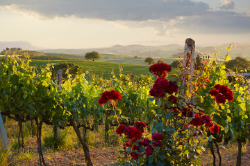 Tuscany vineyards in fall