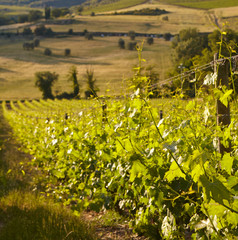 Growing grapes in the hills of Tuscany