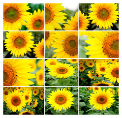 Collage of many images of sunflowers