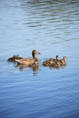 Duck With Her Childs