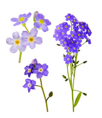 set of forget-me-not lilac flowers isolated on white