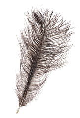 dark grey ostrich feather isolated on white
