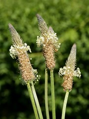 plantago leanceolate blossoming close up