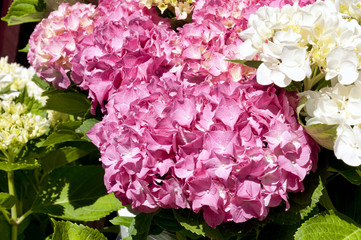 White and pink hydrangea