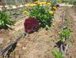 lettuce and marigold (Calendula)