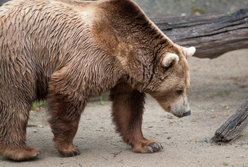 Ours brun - Ursus arctos - en gros plan