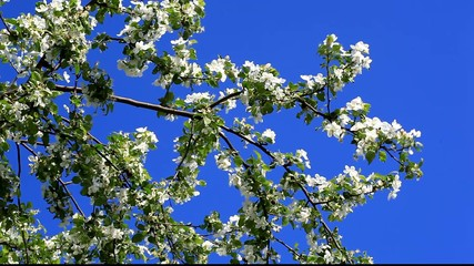 Apple tree with white blossom. Flowers on the branches