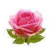 Obrazy na płótnie, fototapety, zdjęcia, fotoobrazy drukowane : Pink rose isolated on white background.