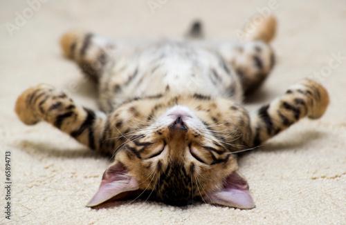 cat - 65894713