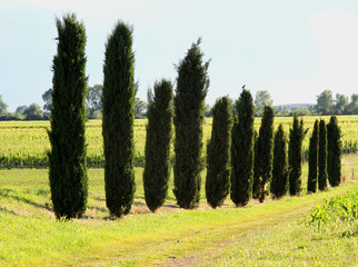 long row of cypress trees in the field cultivated