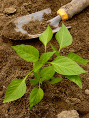 pepper seedling