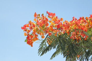 Flame Tree Flower.