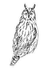 Long-eared Owl. Vector illustration