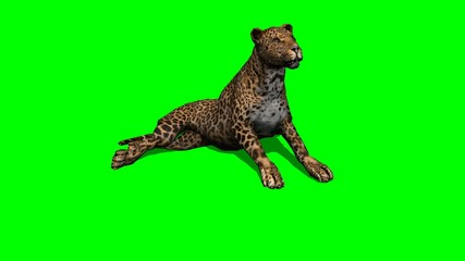 leopard sitting and looks around - green screen