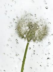 Droplets dandelion.