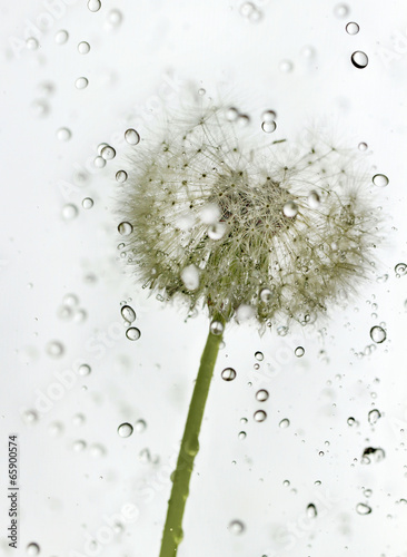 Droplets dandelion. - 65900574