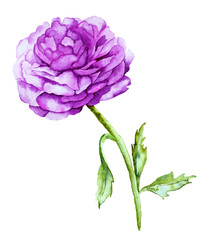 Watercolor with Violet Peony