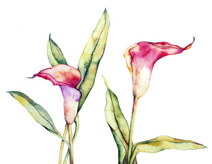 Watercolor with callas