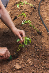 Hands planting a pepper seedling