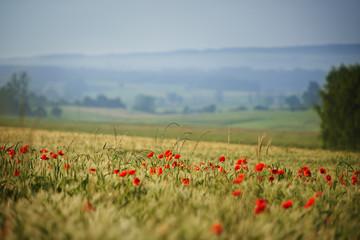 Polskie makowe pola