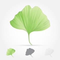 Ginko biloba, leaf, vector illustration