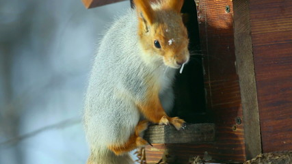 Squirrel eating sunflower seeds on a wooden feeder.