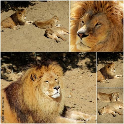 Fotobehang lions