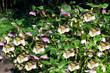 Lenten rose Latin name helleborus orientalis