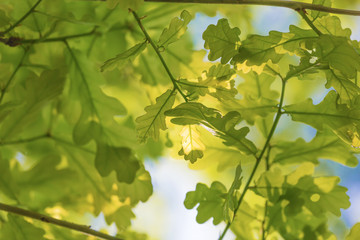 Oak leaves on the sun